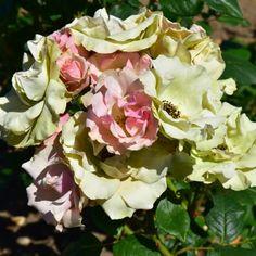 Greensleeves rose
