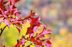 autumn in the ozarks,fall in the ozarks,ozark mountains,ozark mountains ar,arkansas,fall ar,fall color,autumn colors,leaves,foliage,the ozarks,the ozark mountains,north west arkansas,hawksbill crag trail,jc findley,