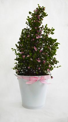 Aniseed Boronia - Ideal Gift for Mother's Day - Ornamental Shrub which Blooms year round - Evergreen and Winter Hardy  - Produces masses of dainty pink flowers - Excellent Present for all occasions.