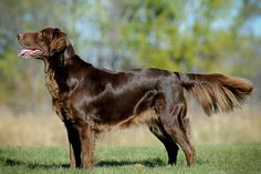Hi Lil Dog Whisperer Readers! This week I have decided to write about the fun, beautiful Flat-Coated Retriever! Rare Dogs, Flat Coated Retriever, Dog Whisperer, Large Dog Breeds, Retriever Puppy, Puppy Breeds, Hunting Dogs, Dogs Of The World, Beautiful Dogs
