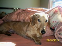 Deuce is an adoptable Dachshund Dog in Frankfort, KY Hi World, I Deuce the Dachshund. I am a sweetie who is painfully shy. I am a red brindle Dachsh ... ...Read more about me on @petfinder.com