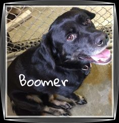 ADOPTED!!!!!  Boomer is a sweet boy available at the SPCA for a loving, responsible family.. April 13, 2014.