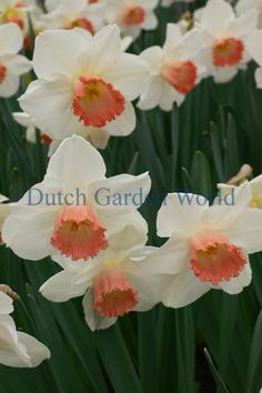 Narcis Pink Charm - Dutch Garden World