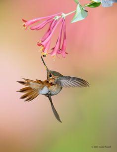Rufous Hummingbird Exotic Birds, Colorful Birds, Pretty Birds, Beautiful Birds, Hummingbird Flowers, How To Attract Hummingbirds, Kinds Of Birds, Bird Pictures, Little Birds