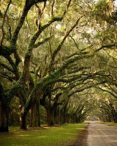 The oak avenue at Wormsloe Plantation near Savannah / USA (by Irina♥).