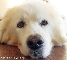 Snow is an adoptable Great Pyrenees searching for a forever family near Beacon, NY. Use Petfinder to find adoptable pets in your area.