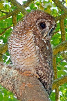 ~~African wood-owl (Strix woodfordii) by Arno Meintjes Wildlife~~