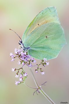 Iridescent green butterfly. Soft lavender flower. A little bit of magic.