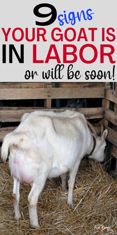 Do you think your goat is close to kidding? Here are 9 signs of goat labor to tell you if your goat will kid in the near future! A must read for anyone who is raising goats for meat, milk, or pets and will be breeding their goats What To Feed Rabbits, Farm Tools And Equipment, Signs Of Labour, Breeding Goats, Nubian Goat, Farm Lifestyle, Goat Care, Nigerian Dwarf Goats, Raising Goats