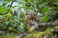 Steinkauz (Athene noctua)- little Owl by Uwe_Mochel #animals #animal #pet #pets #animales #animallovers #photooftheday #amazing #picoftheday