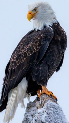 All types of eagle birds in the world with amazing facts. Bald eagles are symbol of American. They are at the top of the food chain, with some species feeding on big prey like monkeys and sloths. Types Of Eagles, The Eagles, Bald Eagles, Eagle Wings, Bird Wings, Bald Eagle Feather, Beautiful Birds, Animals Beautiful, Bald Eagle Pictures