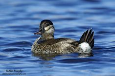 Ruddy Duck female