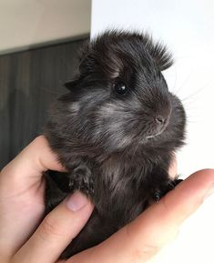 Peruvian Guinea Pig – Peruvian guinea pig is considered one of the most attractive breeds. This is also quite rare to find. Peruvian Guinea pig as the name suggests, is native from Peru and a… Baby Guinea Pigs, Guinea Pig Care, Cute Little Animals, Little Pigs, Peruvian Guinea Pig, Guinea Pig Breeding, Pig Breeds, Guniea Pig, Cute Piggies