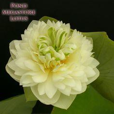 Green Clouds Lotus, Chinese 'Lu Yun'