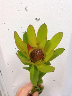 Leucadendron Denne blomsten kommer fra Afrika og Australia denne blir heller ikke så mye brukt i butikkene.