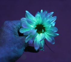 Flower Science Experiment for Kids:  DIY Glowing Flowers from Fun at Home with Kids.