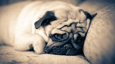 Pug Dog Wallpaper Wallpapers) – Wallpapers For Desktop Wallpaper Pug, Animal Wallpaper, Pug Puppies, Pet Dogs, Doggies, Dachshunds, Amor Pug, Cute Pug Pictures, Dog Muzzle