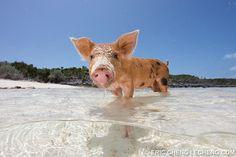Pigs Swimming at 'Pig Beach' in the Exhumas Banks, Bahamas
