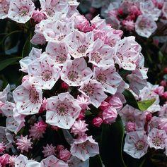 Rock Garden Plants, Garden Types, Kalmia Latifolia, Love Flowers, Beautiful Flowers, Indoor Flowering Plants, Unusual Plants, Heuchera, Native Plants