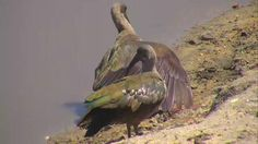 Hadeda Ibis at Nkorho - Oct 5 2016 - 10:43am | Africam
