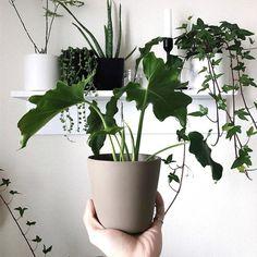 Philodendron Selloum (aka hope plant) doing well! #houseplants