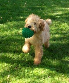 FANTASTIC training tips for Goldendoodle pups.