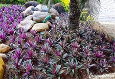 Rhoeo Spathacea: aka Moses in the Cradle, Moses in the Boat, or Oyster Plant Florida Plants Landscaping, Front House Landscaping, Front Garden Landscape, Weird Plants, Unusual Plants, Tropical Garden, Tropical Plants, Vertikal Garden, Organic Gardening Magazine