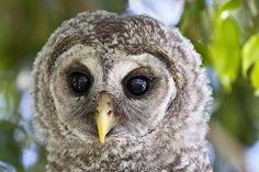 Barred Owlet Barred Owl, Hug Me, Pretty Birds, Owls, Creatures, Grey, Photos, Animals, Gray