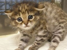 Photo credit: Audubon Institute An adorable newborn kitten at Audubon Center for Research of Endangered Species represents an innovation in reproductive technology pioneered in New Orleans at Audubon Nature Institute. An African Black-footed Cat kitten was born February 6, 2012,...