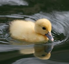 Cute little Duckie Beautiful Creatures, Animals Beautiful, Amazing Animal Pictures, Cute Ducklings, Baby Ducks, Cute Little Animals, Cool Pets, Animals Of The World, Farm Animals