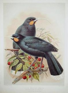 Keulemans, John Gerrard :Huia (male and female).(Three-fifths natural size). Bird Prints, Framed Prints, Canvas Prints, Bird Illustration, Bird Art, Poster Size Prints, New Art, New Zealand, Online Printing