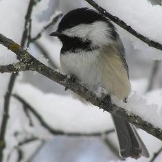 Maine State Bird the Black-capped Chickadee