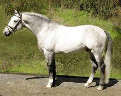 Next years target to own a Swedish Warmblood   Swedish Warmblood Horses / Legacy