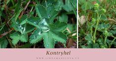 Kontryhel obecný Herbs, Herb, Medicinal Plants