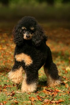 Black and tan beauty by SaNNaS.deviantart.com on @deviantART #poodle