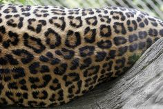 Leopard Spots, via Flickr.