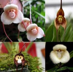 Monkey Orchid (Dracula Simia)