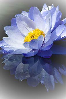 Australian Water Lily, Longwood Gardens, Kennett Square, Pennsylvania flickr от larryn2009   |  Пин от пользователя Brenda Donovan на доске photos