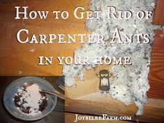 How to Get Rid of Carpenter Ants  in your home  -- Joybilee Farm