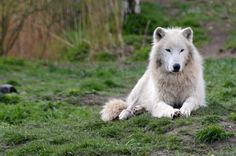 Polarwolf im Ree Park Safari Ebeltoft | by Ulli J.