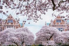 America is Bursting with Cherry Blossoms Right Now #cherryblossoms, #travelamerica, #travel2021 Festivals Around The World, Places Around The World, Around The Worlds, Cherry Blossom Season, Cherry Blossoms, Yoshino Cherry Tree, Beautiful Places, Beautiful Pictures, University Of Washington