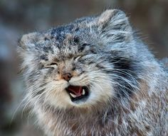 Pallas Cat - Bing Images