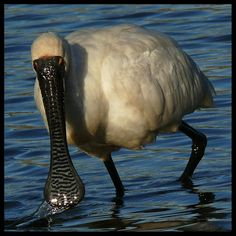 Royal spoonbill. Adult foraging. Waikanae Estuary, March 2012. Image © Roger Smith by Roger Smith