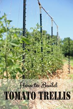 Building tomato trellis in the field using t posts, PVC Ts, rebars and twine. Easy to set-up, easy to take down, and easy to store. Here is how to build tomato trellis. #LadyLeesHome