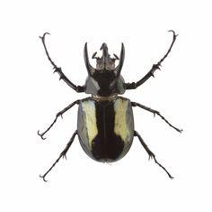 Rhinocerus beetle, dried specimen, Sumatra