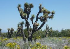 Donated to the State by Arthur Ripley, the Arthur B. Ripley Desert Woodland State Park preserves the native plants in the Antelope Valley.