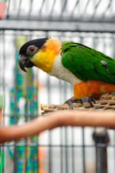 Dixie is an adoptable Caique Parrot in Coon Valley, WI. Dixie is an approximately 4-1/2 year old DNA-sexed female Black-Headed Caique. She is tame and handlable and in good feather. Caiques are not fi...