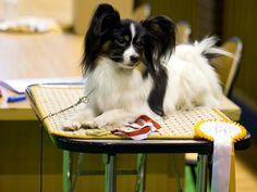 Epagneul nain continental a Oreilles Droites, #Papillon #Spaniel #dogs #cutedogs #cute #puppies