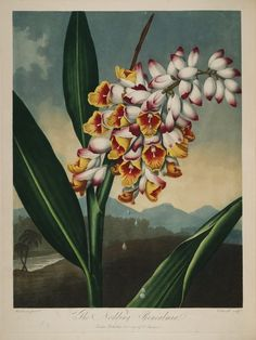 temple-fleur-illustration-Robert-Thornton-09