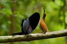 Magnificent Riflebird Bird of Paradise (Ptiloris magnificus)